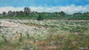 Field chamomile, Kemenesszentpéter