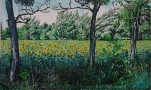Sunflower field with blue acacia's